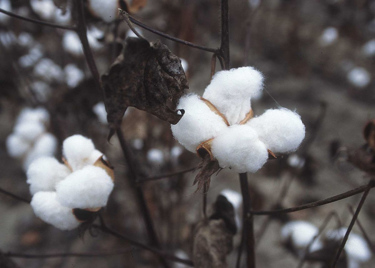 Seed selection for cotton